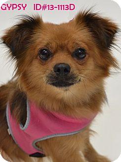 Pomeranian Dog for adoption in Dallas, Texas - Gypsy flop ears