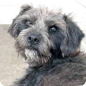 Terrier (Unknown Type, Small)/Terrier (Unknown Type, Medium) Mix Dog for adoption in Marina del Rey, California - Ronan