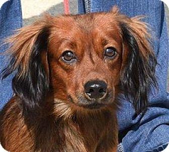 Dachshund Dog for adoption in Northville, Michigan - Joe - ADOPTION PENDING