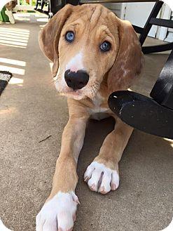 Catahoula Leopard Dog/Plott Hound Mix Puppy for adoption in Harrisburg, North Carolina - Fernando