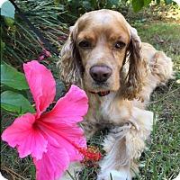 Adopt A Pet :: Johnny - Sugarland, TX