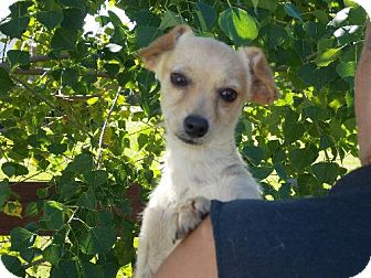 Chihuahua/Wirehaired Fox Terrier Mix Dog for adoption in Santa Fe, Texas - Bob-ADOPTED