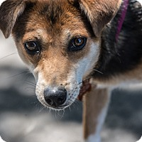 Terrier (Unknown Type, Small) Mix Dog for adoption in Santa Rosa, California - Zalie