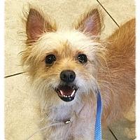 Adopt A Pet :: Reagan - Los Alamitos, CA
