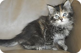 Domestic Longhair Kitten for adoption in New Smyrna Beach, Florida - Bindi (Long haired & Friendly)