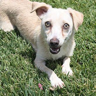 Dachshund/Chihuahua Mix Dog for adoption in Henderson, Nevada - Trixie