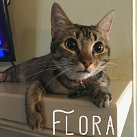 Abyssinian Kitten for adoption in Wichita Falls, Texas - Flora