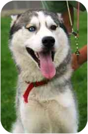 Husky Dog for adoption in Walker, Michigan - Emerson