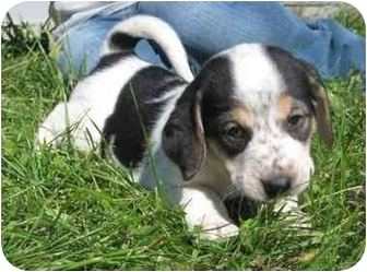 Treeing Walker Coonhound Mix Puppy for adoption in Florence, Indiana - Tubs
