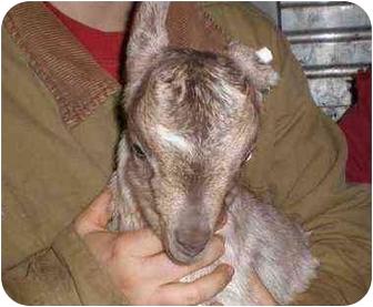 Goat for adoption in Sac, California - Hunter