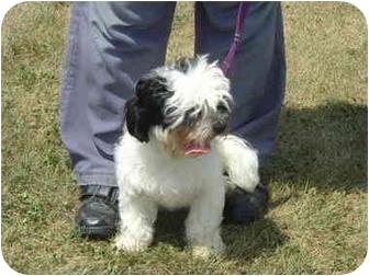 Coton de Tulear/Shih Tzu Mix Dog for adoption in Zanesville, Ohio - Larry