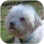 Miniature Poodle Mix Dog for adoption in Eatontown, New Jersey - Dezi