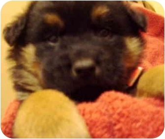Rottweiler/Shepherd (Unknown Type) Mix Puppy for adoption in Covington, Kentucky - Ollie