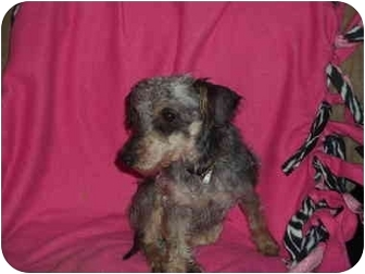 Schnauzer (Miniature)/Poodle (Miniature) Mix Dog for adoption in Coudersport, Pennsylvania - SNICKERS