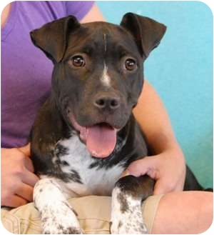 Pit Bull Terrier Mix Puppy for adoption in Las Vegas, Nevada - Lullaby