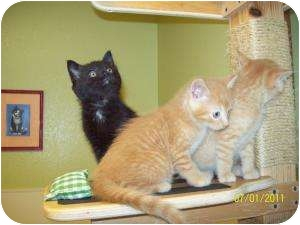 Domestic Shorthair Kitten for adoption in Barron, Wisconsin - Miron