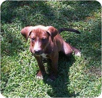 Beagle/Labrador Retriever Mix Puppy for adoption in Allentown, Pennsylvania - Brownie