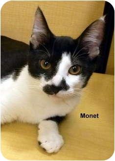 Domestic Shorthair Cat for adoption in Levittown, New York - Monet