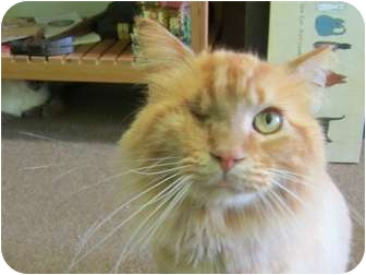 Domestic Longhair Cat for adoption in Bunnell, Florida - Apricot