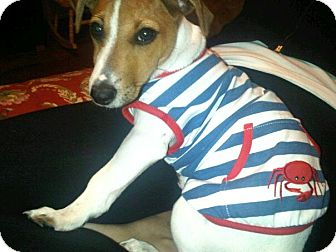 Jack Russell Terrier Dog for adoption in Los Angeles, California - Bentley