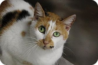 American Shorthair Cat for adoption in Houston, Texas - Chanel