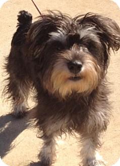 Schnauzer (Miniature)/Shih Tzu Mix Puppy for adoption in East Hartford, Connecticut - Gracie ADOPTION PENDING