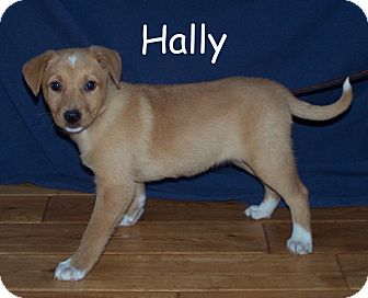 Labrador Retriever Mix Puppy for adoption in Milford, New Jersey - Hally