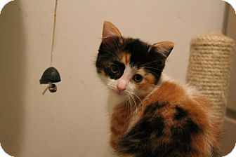 Calico Kitten for adoption in Rochester Hills, Michigan - Smudge