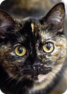Domestic Shorthair Cat for adoption in Dunkirk, New York - Kaylee
