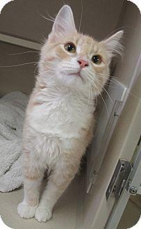 Domestic Mediumhair Cat for adoption in Lloydminster, Alberta - Zazoo