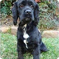 Adopt A Pet :: Bailey - Sugarland, TX