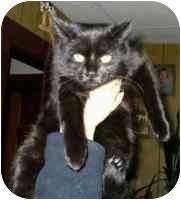 Domestic Shorthair Kitten for adoption in Sheboygan, Wisconsin - Cheyenne