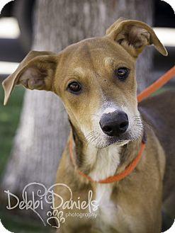 Labrador Retriever/Shepherd (Unknown Type) Mix Dog for adoption in McKinney, Texas - Maddy