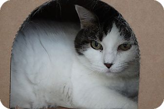 Domestic Shorthair Cat for adoption in Elyria, Ohio - Emmy