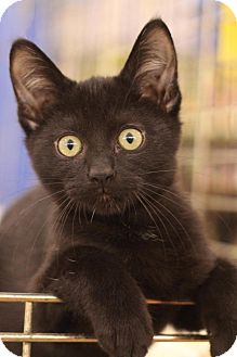 Domestic Shorthair Kitten for adoption in Sacramento, California - Mike