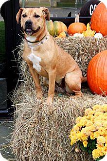 Labrador Retriever Mix Dog for adoption in Brookhaven, New York - Sybil