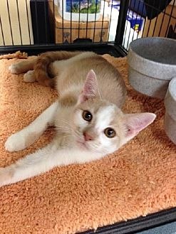Domestic Shorthair Kitten for adoption in Miami, Florida - Julian