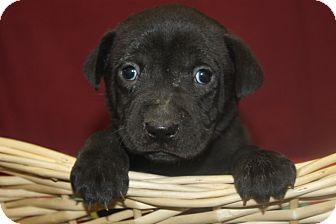 Labrador Retriever Mix Puppy for adoption in Waldorf, Maryland - Mugsy