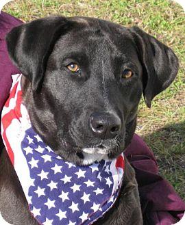 Labrador Retriever Dog for adoption in Port St. Joe, Florida - Opal