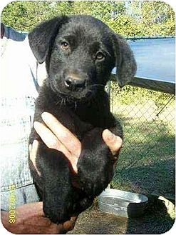Labrador Retriever/Pointer Mix Puppy for adoption in Lincolndale, New York - Hi, my name is Earl