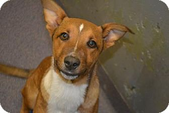 Shepherd (Unknown Type) Mix Dog for adoption in Edwardsville, Illinois - Barley