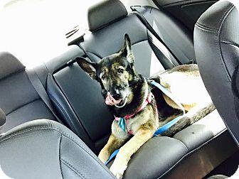 German Shepherd Dog Dog for adoption in Ft. Lauderdale, Florida - Ellie
