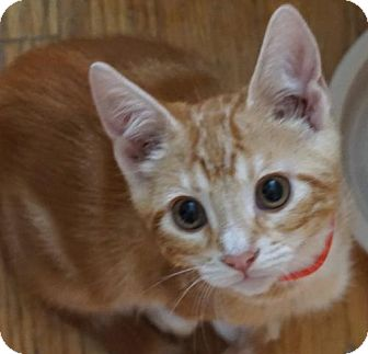 Domestic Shorthair Cat for adoption in Fremont, California - Thor