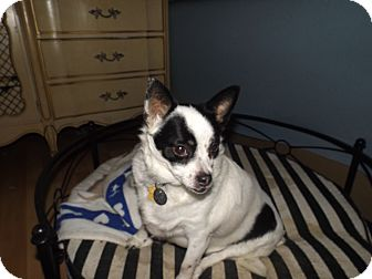 Pomeranian/Chihuahua Mix Dog for adoption in Quincy, Indiana - Petunia