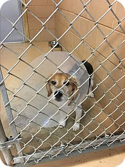 Beagle Dog for adoption in Goshen, New York - Honey