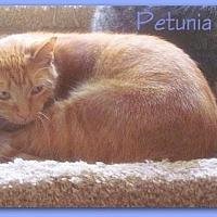 Domestic Shorthair Cat for adoption in Culpeper, Virginia - Petunia
