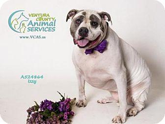 American Bulldog Mix Dog for adoption in Camarillo, California - IZZY