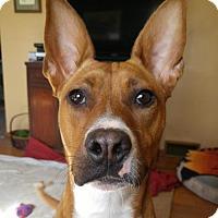 Basenji Mix Dog for adoption in Livonia, Michigan - Katia - ADOPTION PENDING