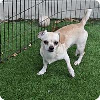 Adopt A Pet :: Antonio (Cocoa Center) - Cocoa, FL