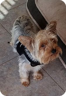 Yorkie, Yorkshire Terrier Dog for adoption in Spring, Texas - Taffy